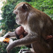 A parent monkey and its baby, Kuala Lumpur, Indonesia