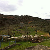 sheep in southern Greece
