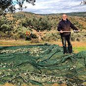 Giannakos harvesting olives