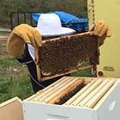 Jeremy Ambrose inspecting a hive frame