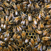 Close up of the bees