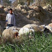 "Rodolfo Rivera, ""Shepherd with Sheep"""