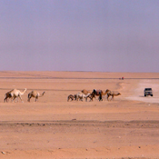"Adam Canterbery, B.S. '11; ""Camels in the Middle of the Desert"""